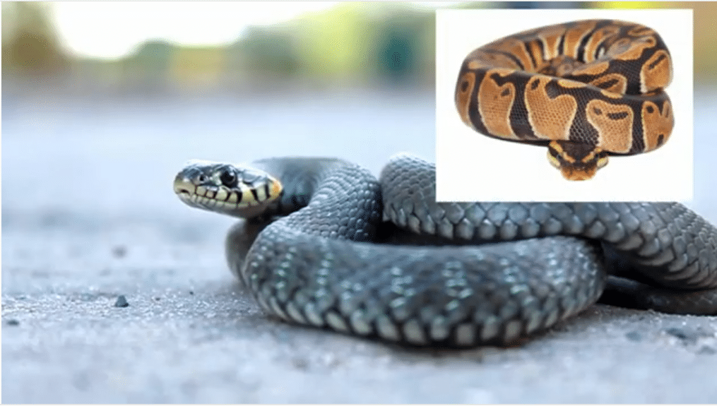 les serpents sont ovovipares